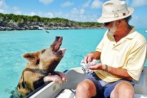 SchwimmendeSchweine auf den Bahamas