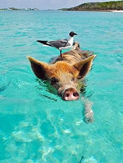 Staniel Cay auf den Bahamas - Schweine am Strand und im Meer