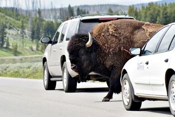 Mit dem Auto durch die USA - wenn Bisons die Straße benutzen, wartet man als Autofahrer lieber